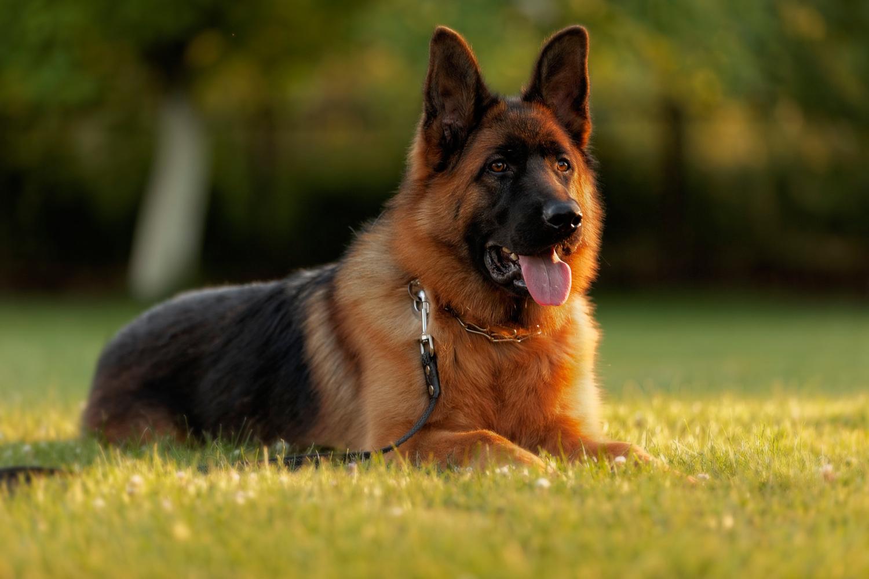 Hulk German Shepherd Shorthair Stud Dog Kennel Fci