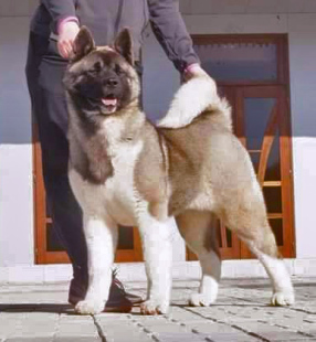 Siberian Hunter Ambassador