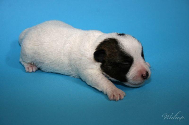 Jack Russell Terrier - Szczenięta - Dog Kennel FCi - Serwis ...
